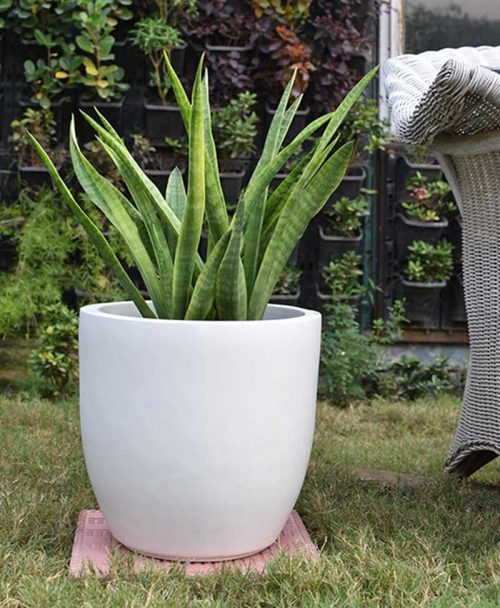 Fiber Glass Cup Shape Planter with Snake Plant Francisii (Sansevieria)