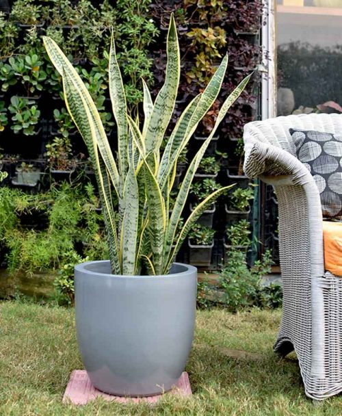 Fiber Glass Cup Shape Gray Planter with Snake Plant Variegated (Sansevieria)