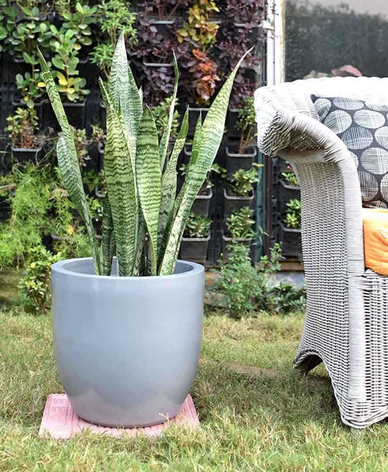 Fiber Glass Cup Shape Gray Planter with Snake Plant Green (Sansevieria)