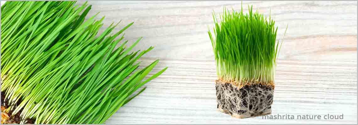 WheatGrass Benefits, Know Super Food