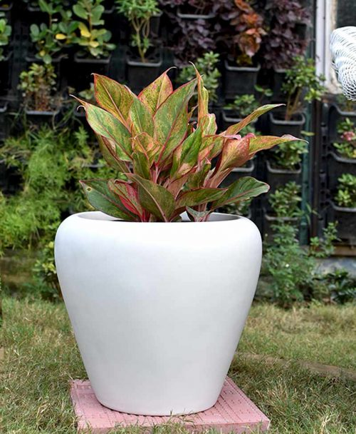 Fiber Glass White Apple Shape Planter with Aglaonema Red