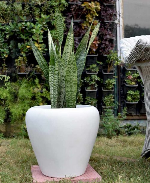 Fiber Glass White Apple Shape Planter with Snake Plant Green (Sansevieria)