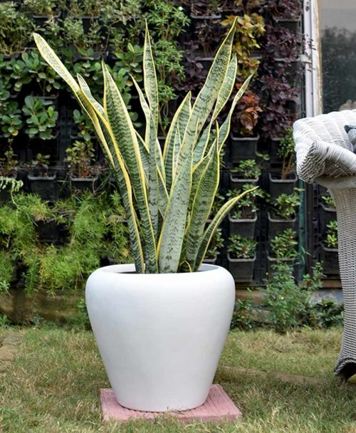 Fiber Glass White Apple Shape Planter with Snake Plant Variegated (Sansevieria)