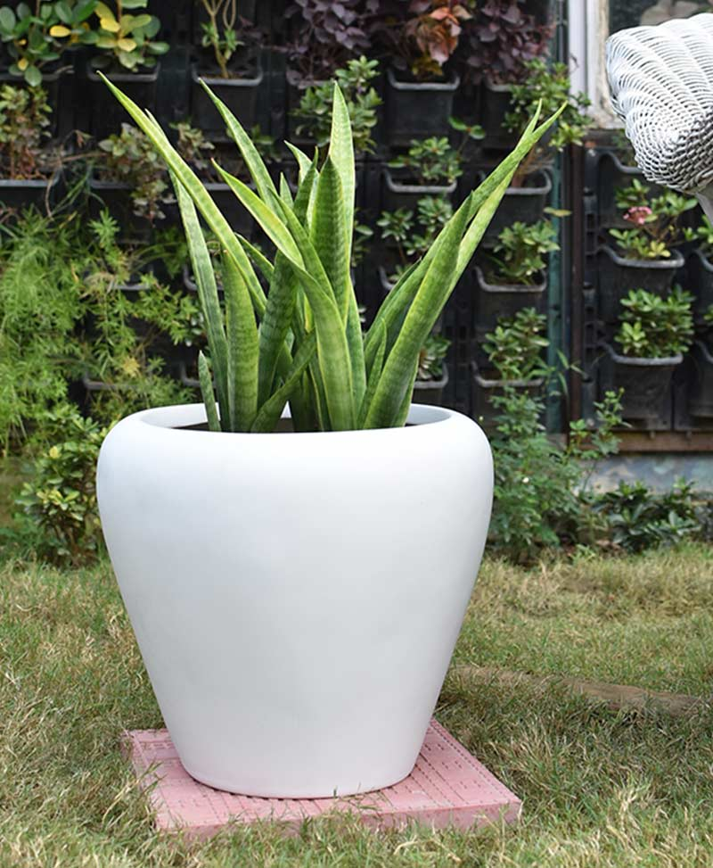Fiber Glass White Apple Shape Planter with Snake Plant Francisii (Sansevieria)