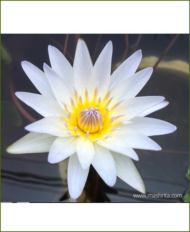 White Lotus - Safed Kamal - White Water Lily (Nelumbo Nucifera)
