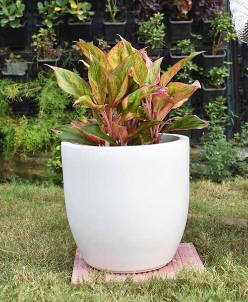 Fiber Glass Cup Shape Planter with Aglaonema Red