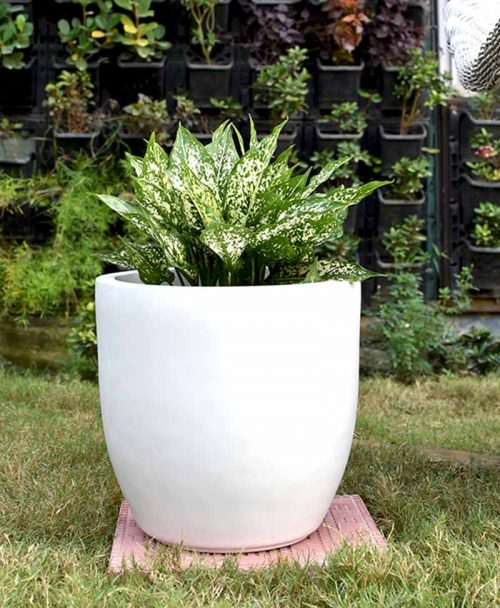 Fiber Glass Cup Shape Planter with Aglaonema Snow White