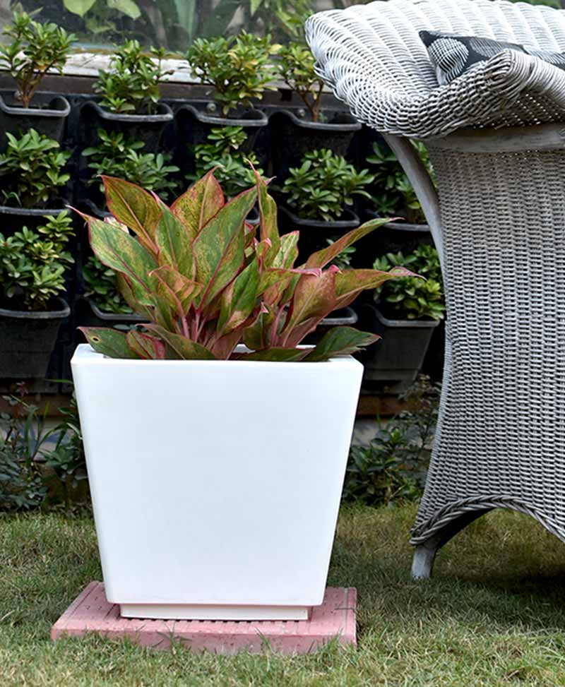 Fiber Glass Tapered Shape Planter with Aglaonema Red
