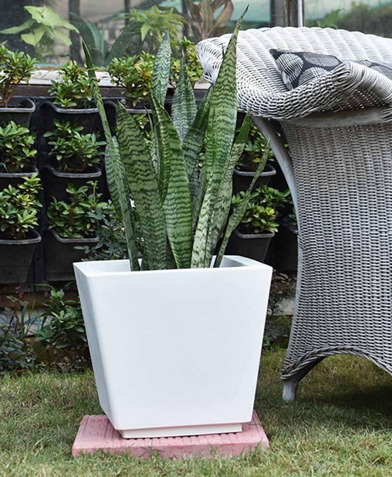 Fiber Glass Tapered Shape Planter with Snake Plant Green (Sansevieria)