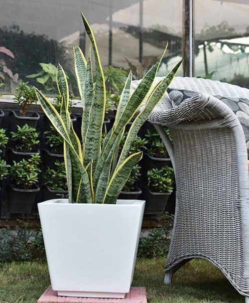 Fiber Glass Tapered Shape Planter with Snake Plant Variegated (Sansevieria)