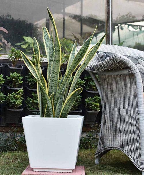Fiber Glass Tapered Shape Planter with Snake Plant Variegated (Sansevieria)