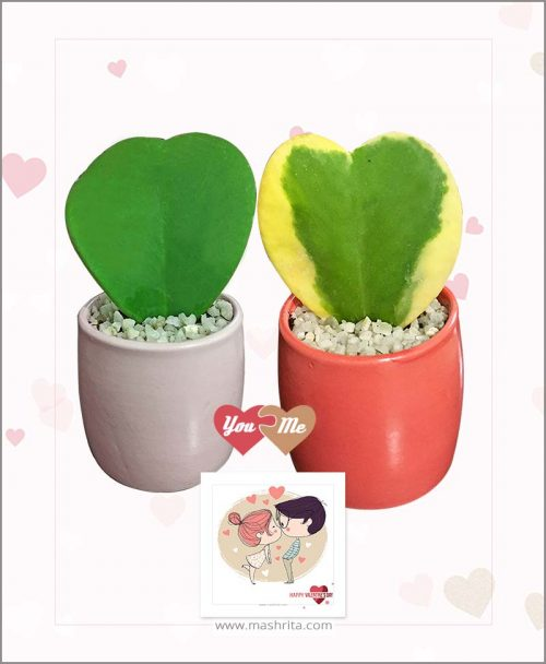 Hoya Sweet Heart Combo Red Variegated - Pink Green