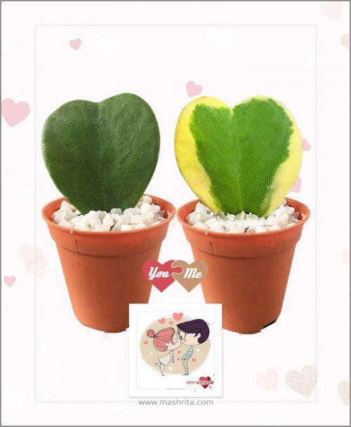 Hoya Kerrii Sweet Heart Combo