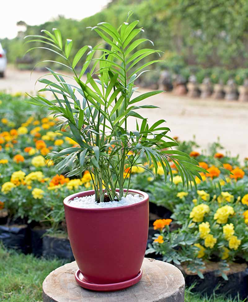 Ceramic Maroon Oval Pot with Chamaedorea Elegans