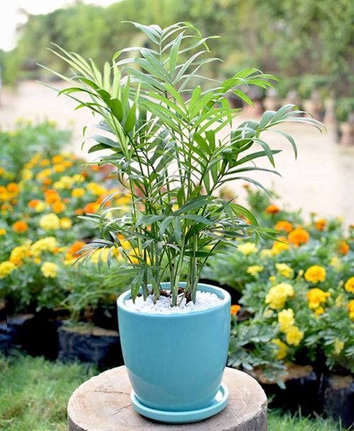 Ceramic Sea Green Oval Pot with Chamaedorea Elegans