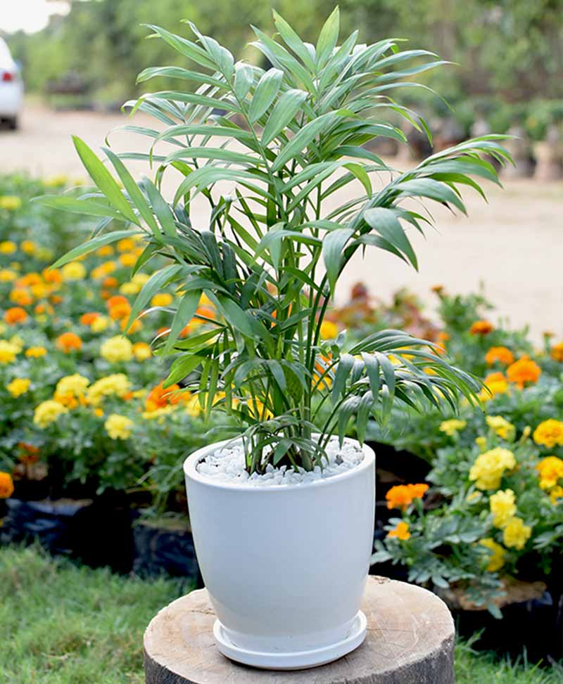 Ceramic White Oval Pot with Chamaedorea Elegans